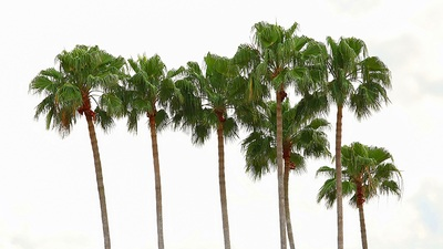 3 Common Central Florida Palm Trees