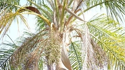 Best Time To Trim Queen Palms and Why To Hire Professional.