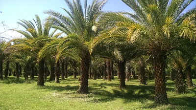 What Is a Sylvester Palm Tree and Why Is It a Popular Tree in Central Florida?