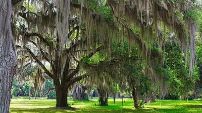 What is Spanish Moss?